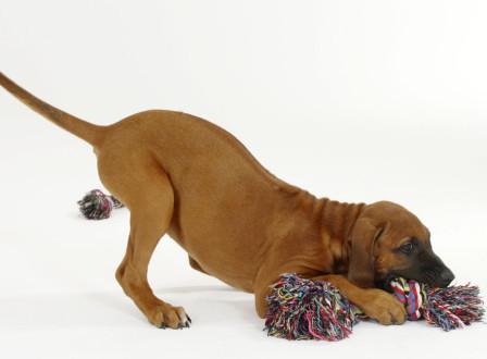 Rhodesian Ridgeback, puppy, 10 weeks | Rhodesian Ridgeback, Welpe, 10 Wochen