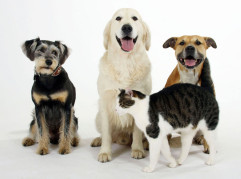 American Staffordshire Terrier, Mixed Breed Dog, Golden Retriever and Domestic Cat  American Staffordshire Terrier, Mischlingshund, Golden Retriever und Hauskatze