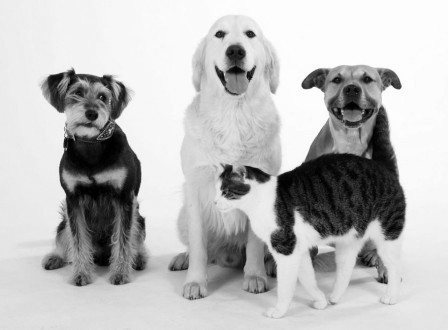 American Staffordshire Terrier, Mixed Breed Dog, Golden Retriever and Domestic Cat |American Staffordshire Terrier, Mischlingshund, Golden Retriever und Hauskatze