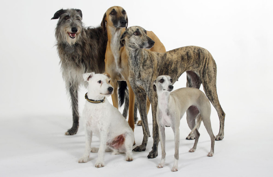 Sloughis, Scottish Deerhound, Whippet and Parson Russell Terrier (Parson Jack Russell Terrier)