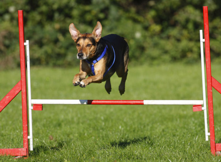 Mixed Breed Dog, agility, jumping over hurdle