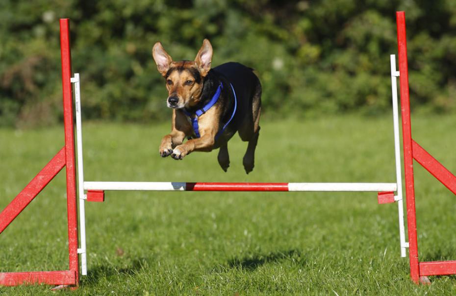 Mixed Breed Dog, agility, jumping over hurdle