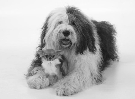 Bobtail (Old English Sheepdog) and Chihuahua, longhaired