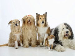Mixed Breed Dogs, Rough Collie, Bobtail and Chihuahua, longhaired / Mixed Breed Dog, Old English Sheepdog |Mischlingshunde, Collie, Bobtail und Chihuahua, langhaarig / Mischlingshund, Schottischer Schaeferhund, Schottischer Schäferhund, Old English Sheepdog, Altenglischer Schaeferhund, Altenglischer Schäferhund