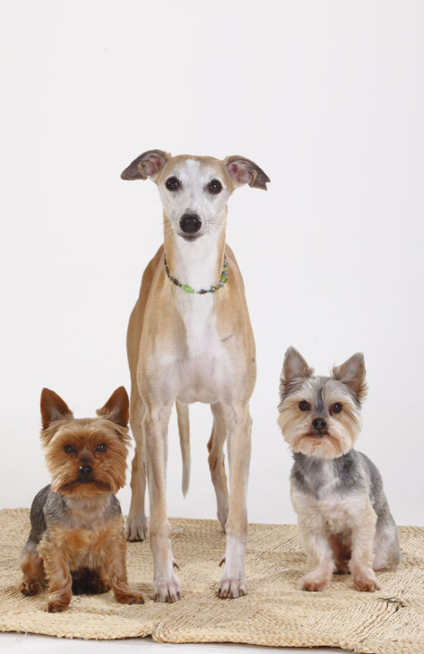 Whippet, Yorkshire Terrier and Mixed Breed Dog (Yorkshire Maltese crossbred) |Whippet, Yorkshire-Terrier und Mischlingshund (Yorkie-Malteser-Mischling)